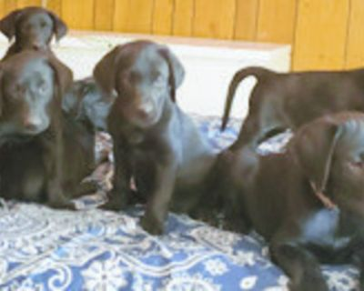 LABRADOR RETRIEVER Puppies for sale AKC Registered. 8 black available, 8 weeks old,...