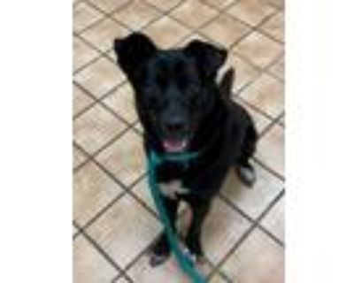 Adopt Howie a Border Collie, Chow Chow