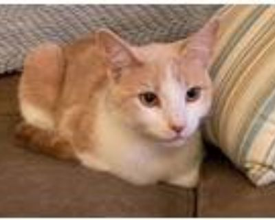 Adopt Penny a Orange or Red (Mostly) Domestic Shorthair / Mixed (short coat) cat