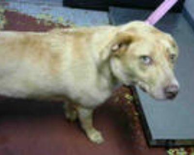 Adopt RAMEN a Tan/Yellow/Fawn - with White Labrador Retriever / Mixed dog in
