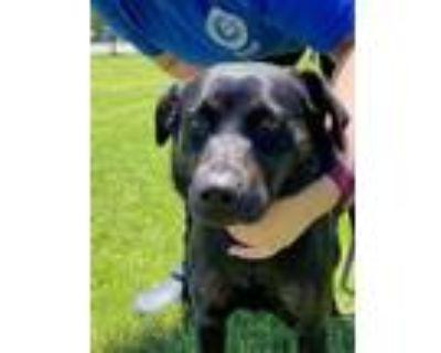 Adopt B.B. a Black Labrador Retriever / Mixed dog in Newport News, VA (31622116)