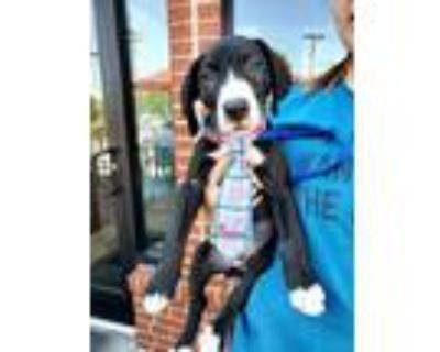 Adopt Remy a Black - with White Labrador Retriever / Mixed dog in Overland Park