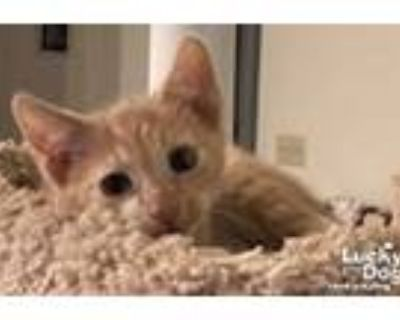 Adopt Elon a Orange or Red (Mostly) Domestic Shorthair / Mixed (short coat) cat