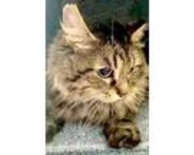 Adopt Umbreon a Gray or Blue Domestic Longhair / Domestic Shorthair / Mixed cat