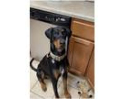 Adopt Owen a Black - with Tan, Yellow or Fawn Doberman Pinscher / Mixed dog in