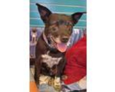 Adopt Little Man a Brown/Chocolate - with White Australian Cattle Dog / Pit Bull