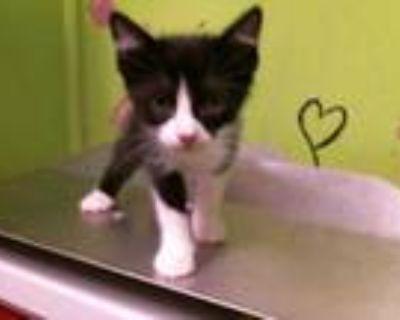 Adopt ZAZU a Black & White or Tuxedo Domestic Shorthair / Mixed (short coat) cat