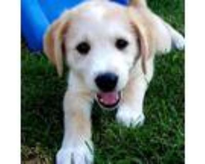 Adopt Popper a Tan/Yellow/Fawn Labrador Retriever / Husky / Mixed dog in Olathe