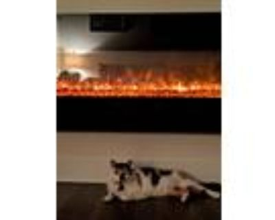 Adopt Ruby a Calico or Dilute Calico Calico / Mixed (short coat) cat in