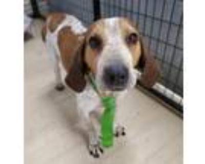 Adopt Hank a Coonhound, Basset Hound