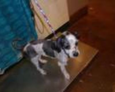 Adopt Dog a White - with Black Shih Tzu / Mixed dog in Thousand Palms