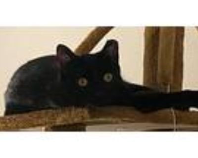 Naomi, Domestic Shorthair For Adoption In Speedway, Indiana