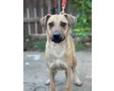 Adopt Barnaby a Tan/Yellow/Fawn - with Black Shepherd (Unknown Type) / Mixed dog
