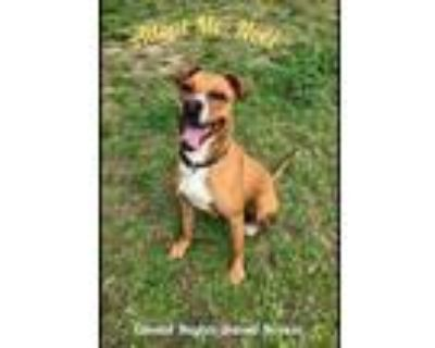 Adopt Noel a Brown/Chocolate - with White Boxer / Mixed dog in Colonial Heights