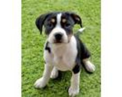 Adopt Willy a Catahoula Leopard Dog, Boxer