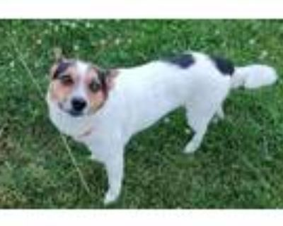 Adopt Milo a Jack Russell Terrier, Feist