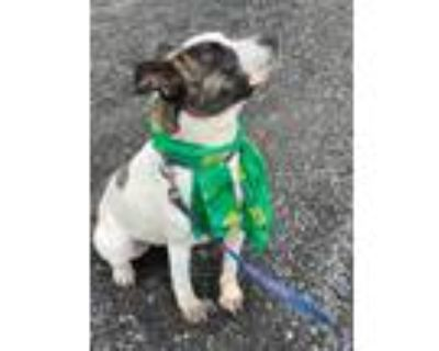 Adopt GENNY a American Staffordshire Terrier