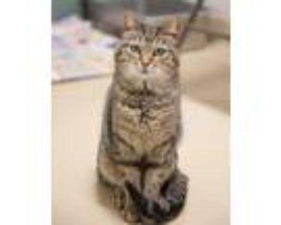 Adopt PAT a Brown Tabby Domestic Shorthair / Mixed (short coat) cat in