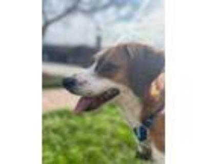 Adopt Bella a Brown/Chocolate Beagle / Mixed dog in Newport News, VA (30751658)