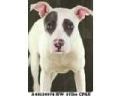 Adopt 48126974 a White American Pit Bull Terrier / Mixed dog in Shreveport