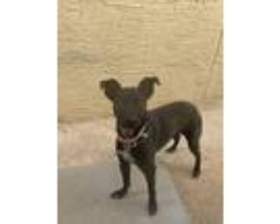 Adopt Lucy a Black Retriever (Unknown Type) / Mixed dog in El Paso