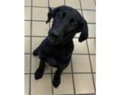 Adopt zoey a Labrador Retriever, Mixed Breed