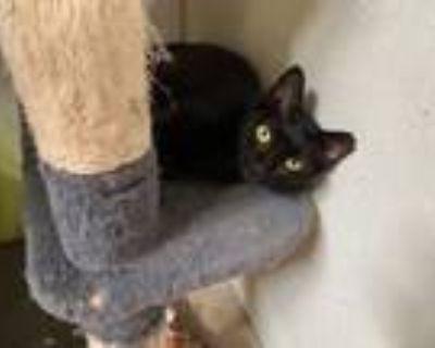 Adopt Star a Domestic Shorthair / Mixed (short coat) cat in St.