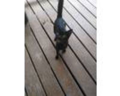 Adopt Prince a All Black Bombay / Mixed (short coat) cat in Jacksonville