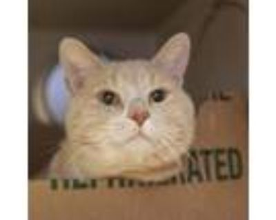 Adopt Twinkles a Domestic Short Hair