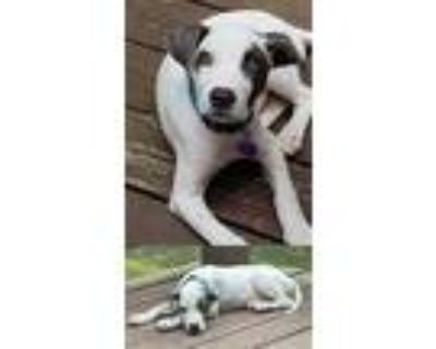 Adopt Belle a Pit Bull Terrier / Mixed dog in Chantilly, VA (32121908)