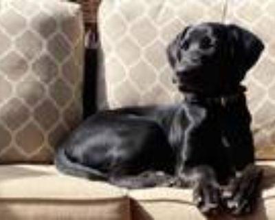 Adopt Tunkah a Black Labrador Retriever / Doberman Pinscher / Mixed dog in