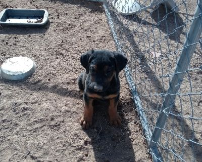 Doberman Shepherd Hybrid Puppies
