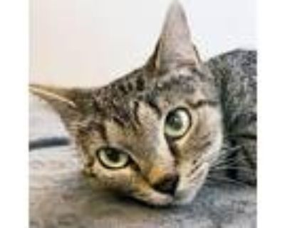 Adopt Mrs. O Leary a Gray or Blue Domestic Shorthair / Mixed cat in Wichita