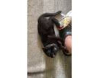 Adopt Milagros a All Black American Shorthair / Mixed (short coat) cat in