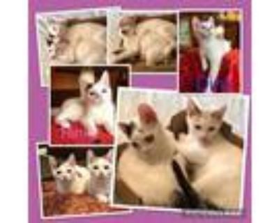 Adopt DINK a White (Mostly) Domestic Shorthair / Mixed (short coat) cat in