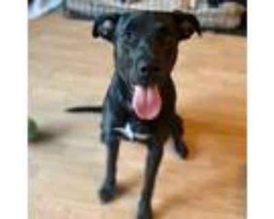 Adopt Phoebe a Labrador Retriever, Pit Bull Terrier