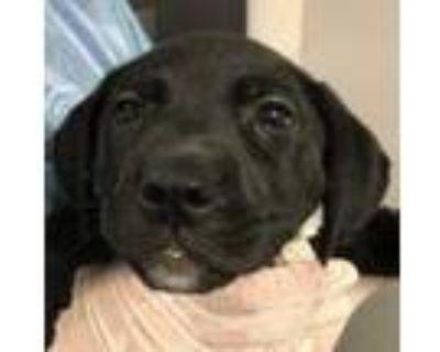Adopt Eve a Labrador Retriever, Shepherd