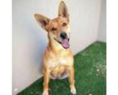 Adopt Ginger a German Shepherd Dog, Labrador Retriever