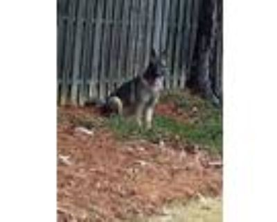Adopt Bullet a Black - with Gray or Silver German Shepherd Dog / Mixed dog in