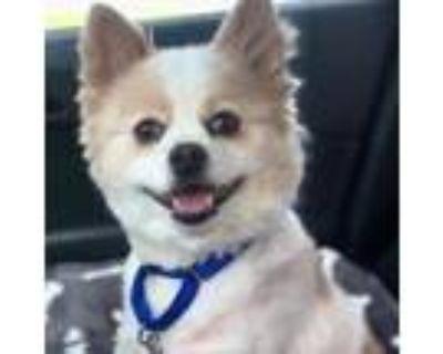 Adopt Gouda a Pomeranian