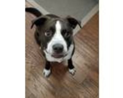 Adopt Charlie a Brown/Chocolate - with White German Shorthaired Pointer / Boxer