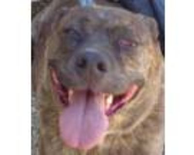 Adopt Shelby a Brindle Labrador Retriever / Pit Bull Terrier / Mixed dog in