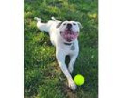 Chevelle, American Staffordshire Terrier For Adoption In Dayton, Ohio