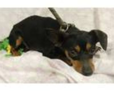 Adopt a Black - with Brown, Red, Golden, Orange or Chestnut Dachshund / Mixed
