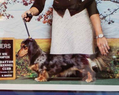 English Cream Dapple Longhair Miniature Dachshund Puppies