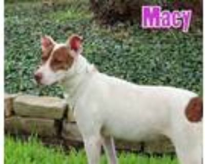 Adopt Macy a Whippet, American Staffordshire Terrier
