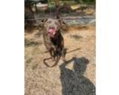 Adopt Lilac a American Staffordshire Terrier, Staffordshire Bull Terrier