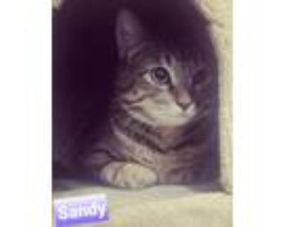 Adopt Sandy a Tiger Striped Domestic Shorthair (short coat) cat in West