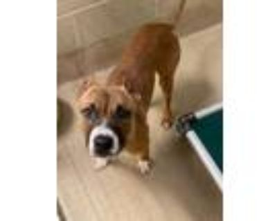 Adopt Smoothie a Brown/Chocolate American Pit Bull Terrier / Mixed dog in