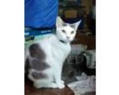 Adopt Tot a White (Mostly) American Shorthair (short coat) cat in Saint Charles